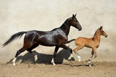 Gappar - Akhal Teke mare and foal