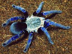 Cobalt Tarantula