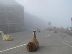 "viralthings:  "" Tour de France delayed due to llamas sitting on roads.  """