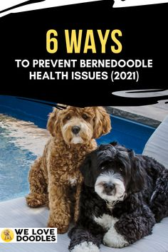 Dog lovers around the world praise the temperament of the Bernedoodle. Before learning about Bernedoodle health issues, it's essential to understand this mix. These dogs are a reasonably calm yet friendly breed. Love Doodles, Our Love, Dog Lovers, Around The Worlds, Health, Dogs, Animals, Animales, Health Care