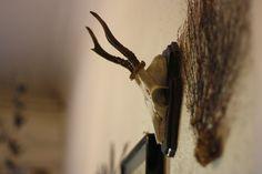 Interior, taxidermy, deer skull, my own wall / room