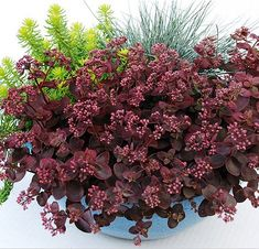 Sedum 'Cherry Tart'  If you are looking for a groundcover that is as colorful as it is hardy, plant sedum 'Cherry Tart'. Growing just 6 inches tall (yet spreading up to 18 inches), this adorable little sedum has cherry-red leaves from spring through fall. Full sun