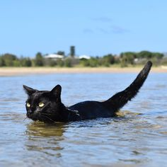 """21.4k Likes, 192 Comments - Nathan the Beach Cat (@nathan_thebeachcat) on Instagram: """"Little panther patrolling the waters 2018 Calendars still available ONLY A FEW LEFT! Help us…"""""""