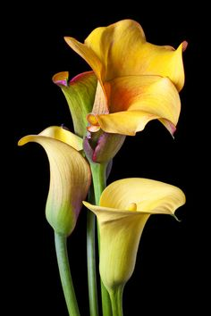 http://images.fineartamerica.com/images-medium-large/four-calla-lilies-garry-gay.jpg