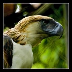 The Great Philippine Eagle Endangered