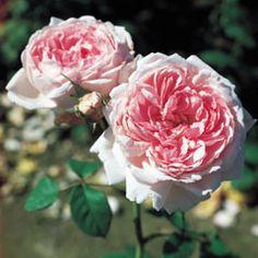 David Austin - Wife of Bath 3'x2' great for a small garden