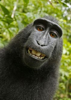 Black macaque monkey borrows photographer's camera to take self-portraits