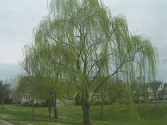 cherry willow....Ben wants this in our yard by the river.