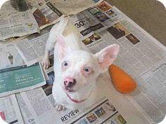 Raleigh, NC - Chihuahua Mix. Meet LITTLE JOE, a puppy for adoption. http://www.adoptapet.com/pet/11653685-raleigh-north-carolina-chihuahua-mix