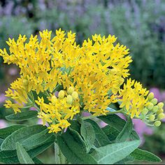 Hello Yellow Is A Flowered Erfly Weed Asclepias With Great Drought Tolerance Park Seed