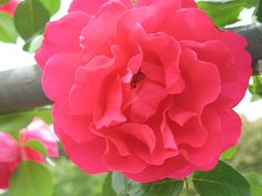 """Images made into 5"""" x 7"""" notecards; copyright Judy Goffin; $2.50 each; inquire at judygoffin.com; #roses #photography #judygoffin"""