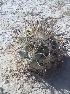 Coryphantha poselgeriana var. valida, Sierra de Parras, Coahuila