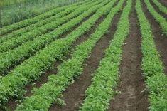 Bohatá úroda kvalitného petržlenu: Takto sa z nej budete tešiť aj vy Vineyard, Plants, Outdoor, Gardening, Garten, Outdoors, Vine Yard, Vineyard Vines, Planters