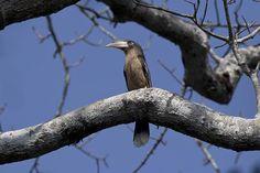 Brown Hornbill