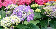 Como controlar y cambiar el color de las Hortensias