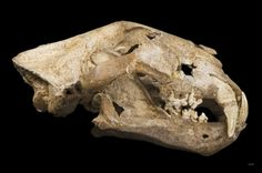 Paleogenetics confirm that the cave lion was a species all its own.