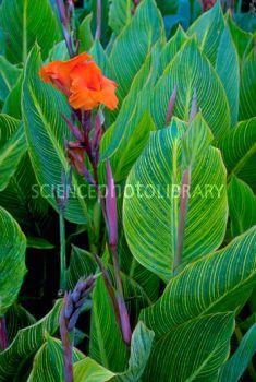 Canna Striata Dwarf Cana Lily
