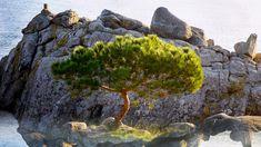 Single pine tree in front of a rock, Cala s'Alguer, Palamós, Costa Brava, Spain, 345828098e0099525e820d90bebc6269