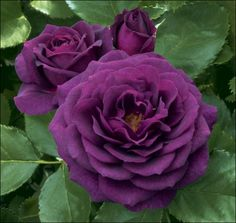 Purple Knockout Rose, new color