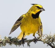 Cardeal-amarelo (Gubernatrix cristata): espécie ameaçada de extinção. Endangered specie. Foto: Alejandro Olmos | Wiki Aves - A Enciclopédia das Aves do Brasil