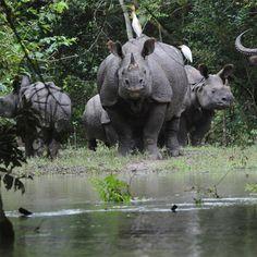 Herd of rhinos in Kaziranga National Park