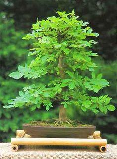 Bonsai Tree Histories: Ash Bonsai Case History (fraxinus excelsior)