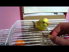 This video shows you how to train your budgie to run through a toilet paper roll in a few easy steps. Remember to not rush the steps, and after your budgie h. Parakeets, Parrots, Parakeet Food, Pet Bird Cage, Dove Bird, Bird Aviary, Kinds Of Birds, Toilet Paper Roll, How To Train Your
