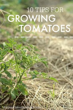 my tomatoes are always feast or feminine. I'm totally implementing some of these tips for naturally growing tomatoes.