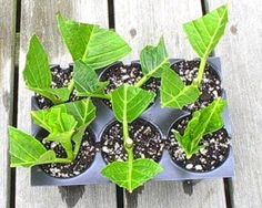 Learn how to root hydrangeas from cuttings and end up with 5 plants from one! Our post includes a very informative video tutorial with great tips.