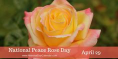 """NATIONAL PEACE ROSE DAY Each year on April we recognize National Peace Rose Day. The day is set aside to honor the """"Peace"""" rose, a well-known and fruitful garden rose. The light yellow to la… April National Days, National Day Calendar, National Holidays, Million Roses, Peace Rose, Fragrant Roses, Holiday Day, What Day Is It, Hybrid Tea Roses"""