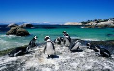Boulders Beach, Cape Town: Thousands of years of erosion weathered away sandstone on this stretch of South African coast in Cape Town, uncovering massive granite boulders. At aptly named Boulders Beach (part of Table Mountain National Park), visitors can splash and sunbathe in the sheltered cove. More than 2,000 African penguins live, swim, and mate in the area.  They may look cute, but those beaks are razor sharp, and they bite.