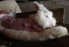 Don't Buy Angora!! Animal cruelty: The angora rabbits are alive throughout the plucking and are kept for several years, plucked every few months, before their ...