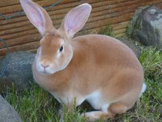 pet rabbit breeds - Google Search