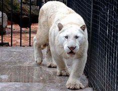 Albino Domestic and Wild Cats Albino Cat, Rare Albino Animals, Exotic Animals, Amazing Animals, Big Animals, Big Cats, Cool Cats, Beautiful Cats, Animals Beautiful