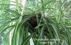 How To Care For The Spider Plant – Chlorophytum