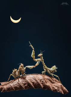 Today we had a 80 % solar eclipse in Europe - I took a photo and copied it into a macro of my last weeks praying mantis' series  :-)  --Yvonne Späne