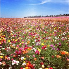 #Carlsbad Flower Fields seem to go on forever! #SanDiego