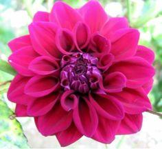 dahlia for your bouquet
