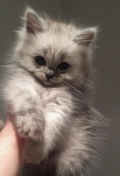 Cutest Kittens In The World an Cute Animals For Sale so Cutest Kittens In The Wo… - Cutest Baby Animals Cute Fluffy Kittens, Cute Baby Cats, Cute Cats And Kittens, Cute Little Animals, Cute Funny Animals, Kittens Cutest, Cute Dogs, Fluffy Cat, Pretty Cats