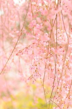 Soft, delicate blossoms.  Cherry blossoms.  Ooooh I soooo love this.  pretty!