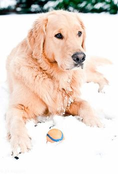 Beautiful Golden Retriever by Big Bean Photos