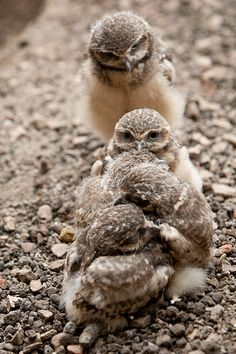 Burrowing Owl Chicks, by A.J. Haverkamp on Flickr