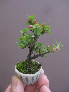 盆栽:小さな紅紫檀の画像 | 春嘉の盆栽工房