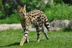 serval - The Cincinnati Zoo & Botanical Garden Jaguar, Ocelot, Warrior Cats, Lynx, Puma, Big Cats, Cats And Kittens, African Wild Cat, Alaska