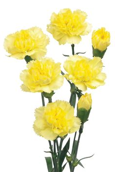 168 Best Carnations Images Black Heads Plants Beautiful Flowers