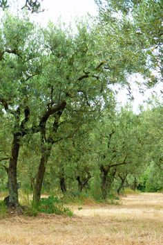 Olive groves are a regular part of the landscape in Provence and were made famous by Vincent Van Gogh who often painted their dark, sinuous trunks and blue-green foliage. Best Mysteries, South Of France, Vincent Van Gogh, Ghosts, Provence, Blue Green, Mystery, Trunks, Country Roads