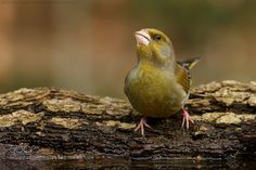 Greenfinch by marioseveri. @go4fotos
