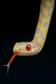 Albino checkered garter snake.