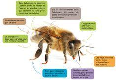 L'abeille domestique, Apis mellifera, est un insecte de l'ordre des Hyménoptères qui comprend plus de 100 000 espèces. Elle appartient à la grande famille des Apoïdes, dont les membres ont pour caractéristiques communes de posséder une longue langue pour recueillir le nectar, de disposer, sur les pattes arrière, d'un astucieux système pour entreposer le pollen et d'être poilus.