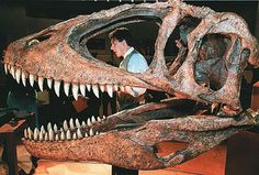 Carcharodontosaurus Saharicus skull,  a close relative of Giganotasaurus from North Africa discovered by Paul Sereno.